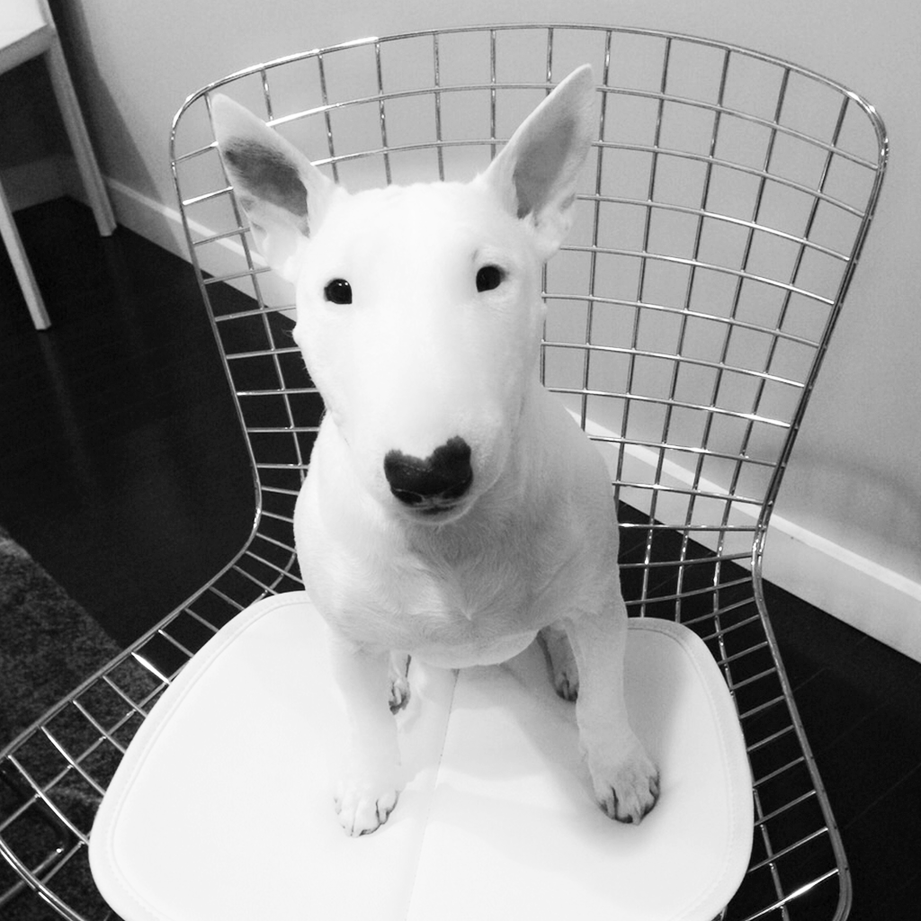 Nikki The Miniature Bullterrier
